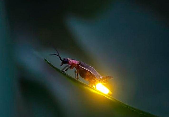 Светлячек